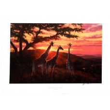 Sand River Sunrise - Giraffes